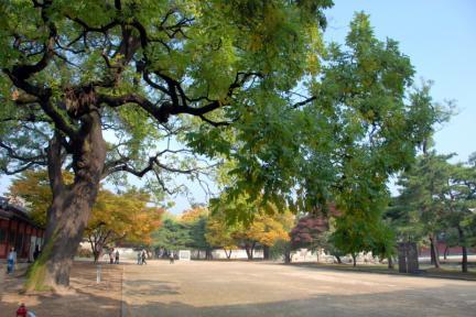 창덕궁 회화나무 군
