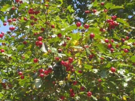 영휘원 산사나무 열매(저작권:문화재청)