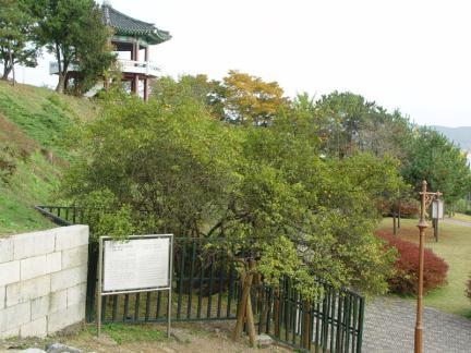 강화 갑곶리 탱자나무