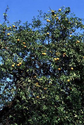 탱자나무잎과열매