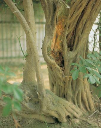 강화갑곶리의탱자나무