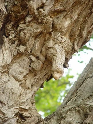 강화 볼음도 은행나무