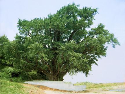 강화서도면의은행나무