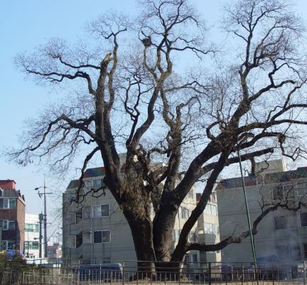 인천 신현동 회화나무
