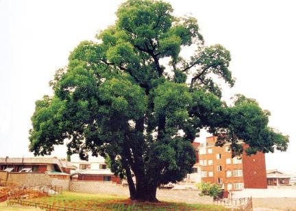 인천신현동의회화나무