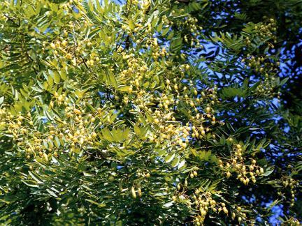 인천신현동의회화나무잎과열매