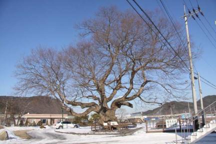 대전 괴곡동 느티나무