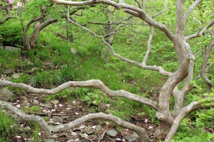 가지산 철쭉나무군락
