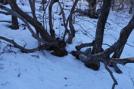 가지산철쭉나무군락지