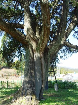 남양주 양지리 향나무