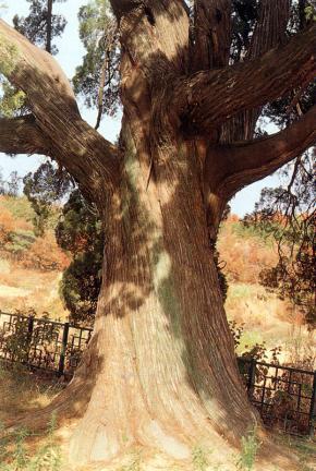 남양주 양지리의 향나무줄기