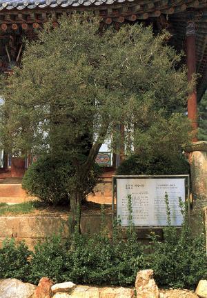 용주사회양나무