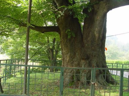양주 황방리 느티나무