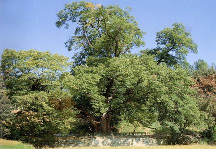 양주남면의느티나무(하절기)