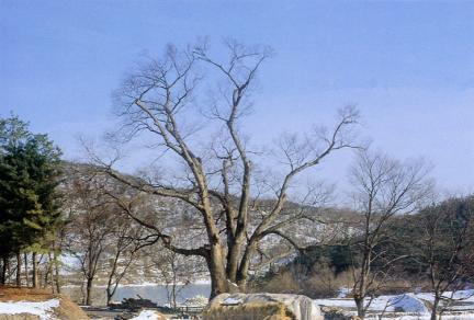 양주남면의느티나무(동절기)