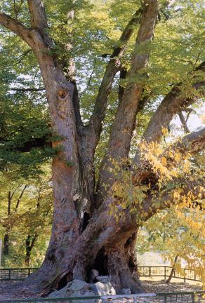 양주남면의느티나무