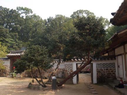 화성 융릉 개비자나무