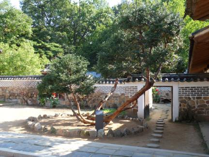 천연기념물 제504호 화성 융릉 개비자나무