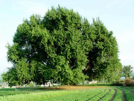 원주 반계리 은행나무