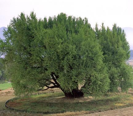 반계리은행나무