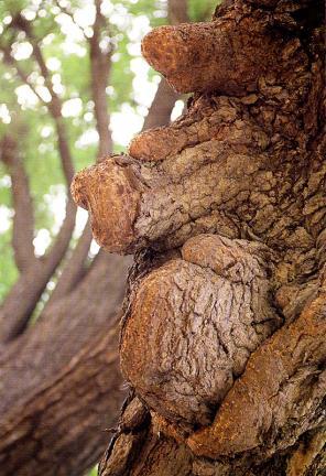 반계리은행나무줄기