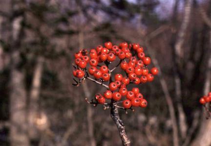 백당나무열매