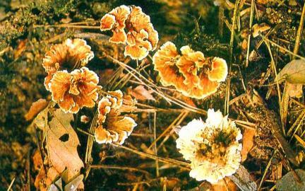 겨우살이버섯의일종