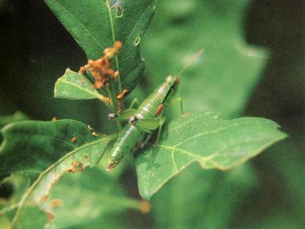 밑드리메뚜기