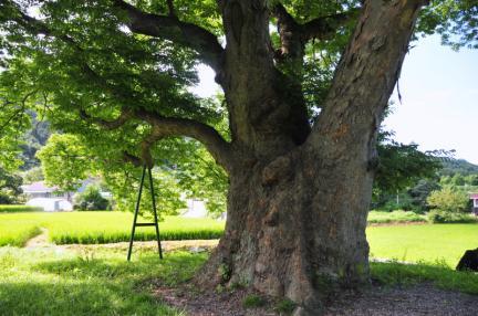 원성 대안리 느티나무