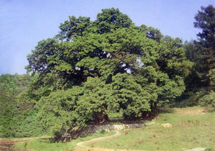 원성흥업면의느티나무(하절기)
