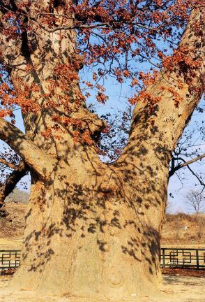 원성흥업면의느티나무줄기