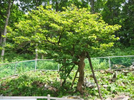 정선 반론산 철쭉나무 및 분취류 자생지