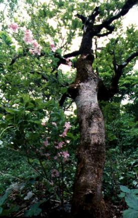 반논산의철쭉나무와분취류