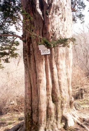 주목3그루중하목줄기