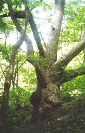 강릉옥계면의굴참나무군