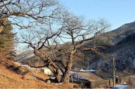 평창운교리밤나무
