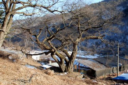 평창 운교리 밤나무