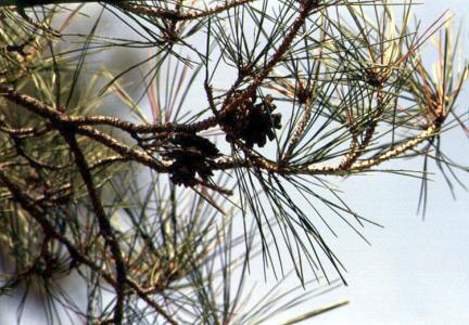 속리의정이품송잎과열매