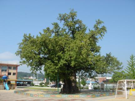 괴산 읍내리 은행나무