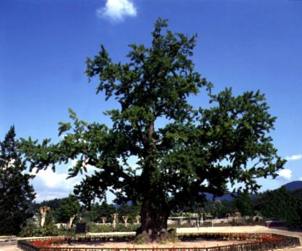 읍내리의은행나무