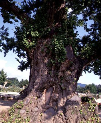 읍내리의은행나무줄기(하절기)