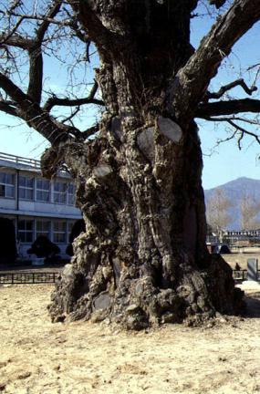 읍내리의은행나무줄기(동절기)
