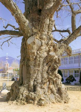 읍내리은행나무