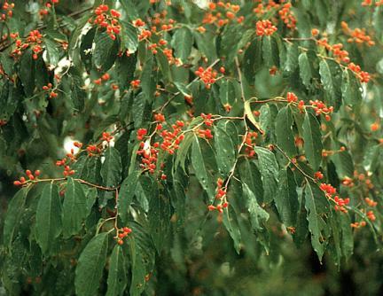 망개나무잎과열매