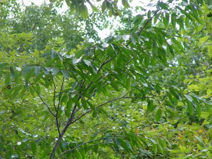 괴산 사담리 망개나무 자생지