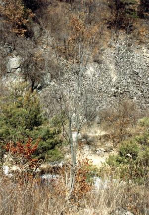 괴산사담리의망개나무자생지