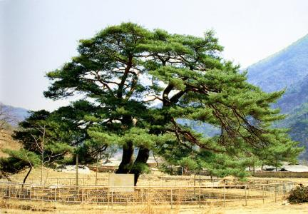 속리서원리의소나무