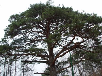 괴산 적석리 소나무