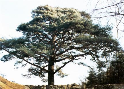 연풍입석소나무전경