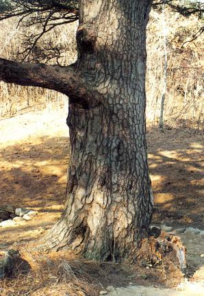 소나무흉고직경부분